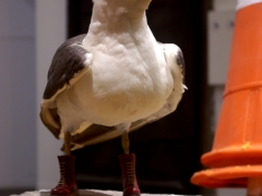 steven-seagull-sz